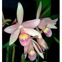 Cattleya Guatemalensis - Corte Adulto