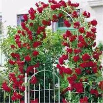 Sementes Flor Rosa Trepadeira Vermelha P/mudas Importadas