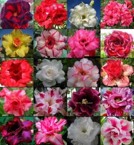 20 Sementes De Rosa Do Deserto (3) - Adenium Obesum + Brinde