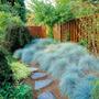 Sementes De Grama Azul (festuca Glauca) P Mudas Jardim