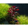Planta Para Aquario Ludwigia Sp Red