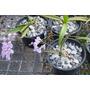 Orquídea Mini - Ionopsis