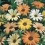 Sementes Da Flor Margarida Africana