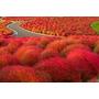 Kochia Vermelha Sementes Grama Capim Flor Para Mudas