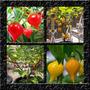 Pimenta Biquinho - Kit Com 2 Cores - Sementes Para Mudas
