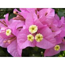5 Sementes De Bougainvillea-frete Grátis-raras-orquídea-muda