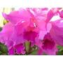 Orquidea Bowrigeriana Labiata - Híbrida (adulta)