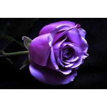 Muda De Rosa Lilás