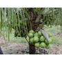 Coqueiro Anão - Mudas Adultas- -produzindo - Promoção R$289