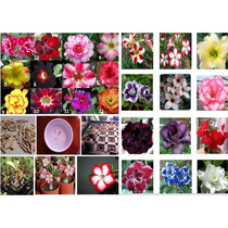 12 Sementes De Rosa Do Deserto - Frete Grátis-rara/orquídea