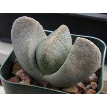 10 Sementes Cactos Lithops Pleios Pedra Viva + Frete Grátis