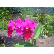 Orquidea Lc. Floralia Triunph X Blc. Oconee Mendenhal
