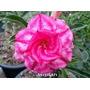 Adenium Obesum 100 Sementes 100 Cor Rosa Do Deserto Triplas