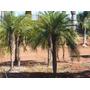 Muda Palmeira Fenix