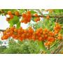 35 Sementes De Fruta Do Sabiá (acnistus Arborescens)