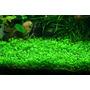 Planta Aquática-glosos 30 Mudas-feche Seu Carpete -promoção!