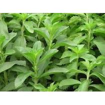 Stevia_50 Sementes