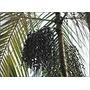 20 Sementes Selecionadas De Açaí Da Amazônia