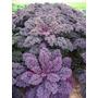 Couve Crespa Scarlet Roxa - Curly Kale - Sementes Hortaliças