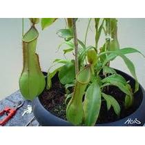 Mudas Da Planta Carnívora Nepenthes. Confira Essa Raridade.