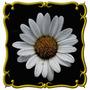 Margarida Gigante Anã - Shasta Daisy - Sementes De Flores
