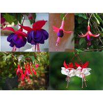 5 Sementes De Fúcsia - Frete Grátis/orquídea/muda/rosa/rara