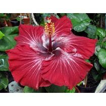 Mudas Hibisco Dragon Queen - Hibiscus - Flor Gigante - Linda