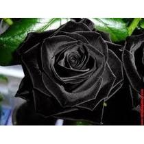 40 Sementes Rosa Preta (negra) - Raras - Frete Gratis