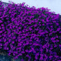 3000 Sementes De Lobélia Crystal Mudas Flores Jardim E Vaso