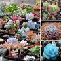 5 Sementes De Lithops/pedra Jade Frete Grátis/muda/orquídea