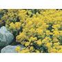 Sementes De Flor Alyssum Corbeille #2leg