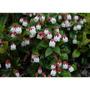 Tasmânia Frutas Snowberry Deliciosas Raras 500 Sementes