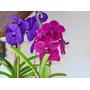 9 Orquídeas Vanda - A Orquídea Gigante
