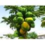 100 Sementes De Mamão Papaia Gigante Mais Frete Gratis