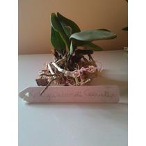 Muda Orquídea Cattleya Warneri Coerulea Na Placa + Sphagnum