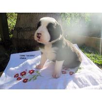Filhotes De Border Collie Do Canil Lili Dog