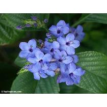 Muda Flor Camarão Azul - Rara E Linda Planta Ornamental
