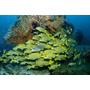 Poster (65 X 43 Cm) Schooling Sweetlip Fish Swim Past Coral