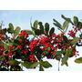 Sementes De Pimenta Rosa P/ Cultivo - Bonsai Cultivo Arvore