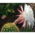Sementes Cactos Trichocereus Candicans Cactus Flor