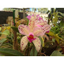 Orquidea Cattleya Amethystoglossa Adulta