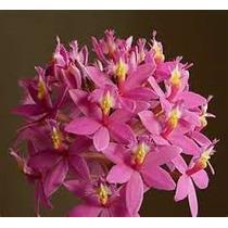 3 Mudas De Mini Orquidea Epidendrum Rosa Mudas Adultas