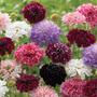 26 Sementes Da Flor Scabiosa Imperial Dobrada Frete Grátis