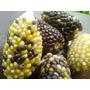 30 Sementes De Milho Pipoca Harlekin