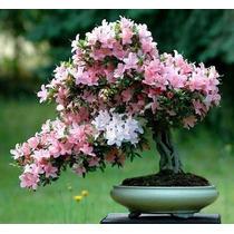 10 Sementes Sakura Cerejeira Bonsai Frete Grátis
