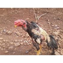Ovos Galados Da Raça Taylandesa