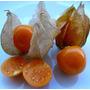 Physalis Edulis-goldenberry Cape Sementes Fruta P/mudas