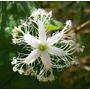 Quiabo De Metro Trichosanthes Cucumerina - Sementes P Mudas