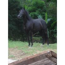 Cavalo Manga Larga - Preto - Maravilhoso. 11 Anos.