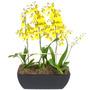 Mudas De Orquídea Chuva De Ouro